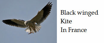 Black-winged-kite-expanding-its-range-in-France