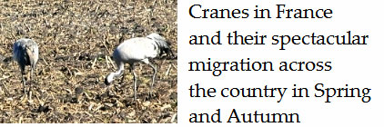 Cranes-and-their-incredible-migration-across-France