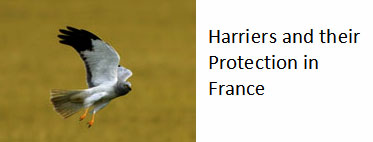 Harriers-protection-France-birds-of-prey
