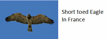 Eagle-that-catches-snakes-in-France