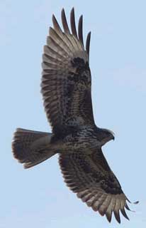 Common-buzzard-in-france