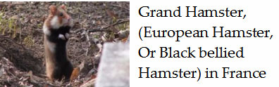 The-rare-Common-or-black-bellied-hamster-france