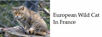 About-the French-wild-cat
