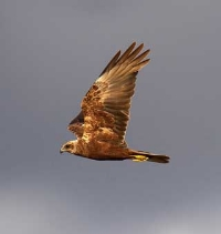 About the Marsh Harrier in France
