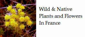 Wild-flowers-to-be-found-in-France