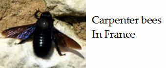 Large-black-bees-in-France