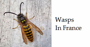 Wasp-species-of-France